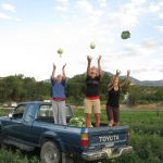 Having Fun Harvesting Cabbages
